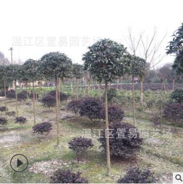 成都高杆桂花批发 园林绿化 常绿乔木苗木 工程绿化
