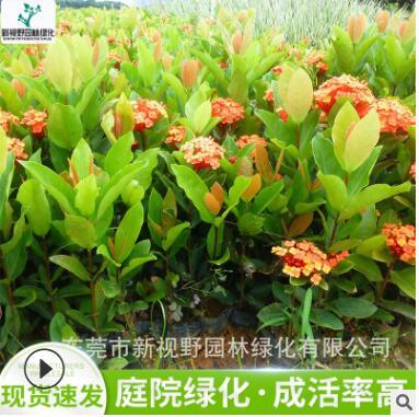 供应龙船花苗 办公室盆栽植物 龙船花地被灌木