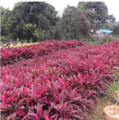 供应红色朱焦5斤绿化袋苗 东莞深圳惠州广州地被小苗园林绿化植物