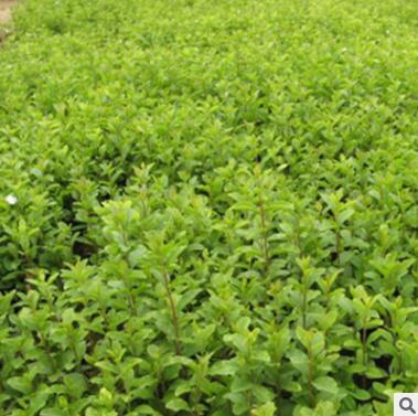 批发基地供应水蜡小苗 工程绿化苗木 规格齐全 量大优惠