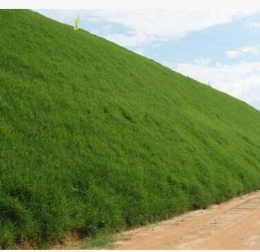 批发护坡固土草种 护坡草种子草籽草坪种子四季青耐旱抗热护坡王