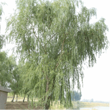 柳树基地直销 规格全风景树种柳树 占地柳树 道路绿化柳树