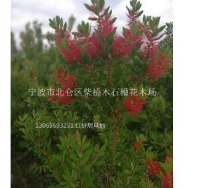 红千层(澳洲硬枝)宁波柴桥红千层新品种基地
