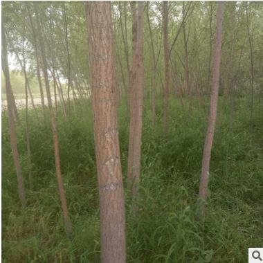 厂家批发柳树 旱柳柳树苗公园绿化树苗 绿化工程乔木胸径8-10公分