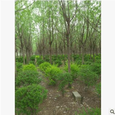供应250厘米截头的旱柳、馒头柳、直柳苗木