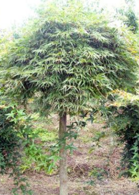 大量供应庭院绿化树苗 绿羽毛枫 红羽毛枫 多种绿化树苗