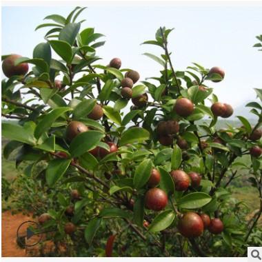 广西油茶苗批发供应 油茶果树苗 大果软枝高产油茶苗 苗圃直销