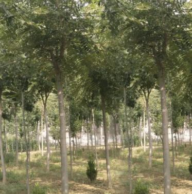 椿树 千头椿 椿树小苗 大小规格齐全 10到25公分