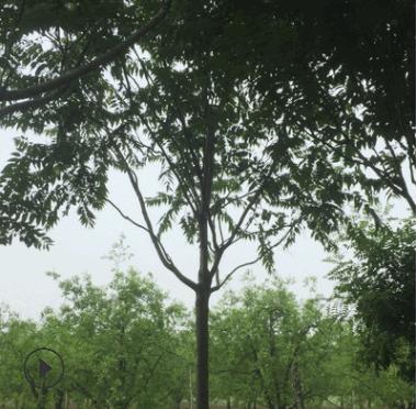 12公分椿树 千头椿12公分 12cm臭椿 白皮臭椿12公分 12cm白皮椿树