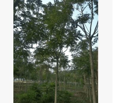 出售绿化工程苗木千头椿 5-15公分优质千头椿 千头椿基地
