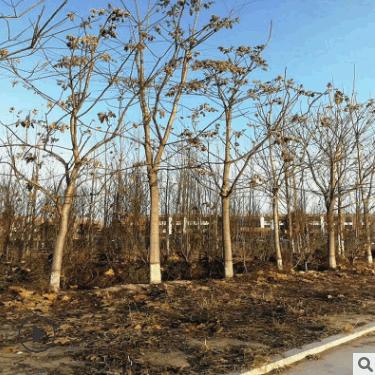 基地大量供应优质千头椿成活率高行道绿化种植技术好千头椿小苗