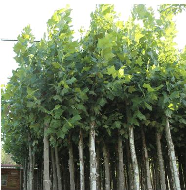 圆柱形法国梧桐 6-20公分法桐风景树苗 规格齐全园林绿化庭荫树苗