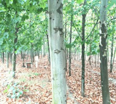 2019预定园林绿化法桐 法国梧桐 造型法桐 适用于国家绿化工程