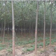 美国速生竹柳价格,美国速生竹柳种植
