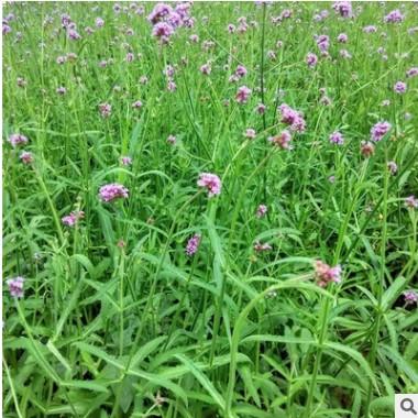 厂家直销草花卉优质的柳叶马鞭草绿化景观花卉品种齐全量大优惠