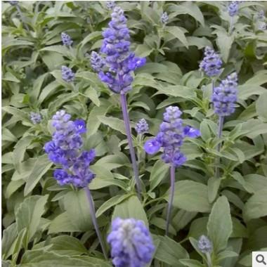 厂家直销草本花卉蓝花鼠尾草花海景观庭院植物齐全量大