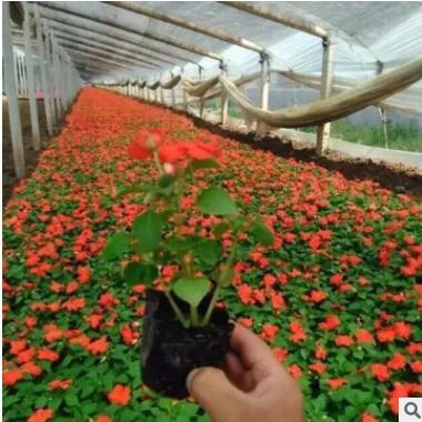 厂家直销园林观赏凤仙花 青州凤仙花花卉基地 大量批发盆栽凤仙花