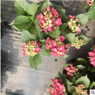盆栽绣球 宿根植物八仙花 八仙花绣球变色花卉庭院盆栽地栽