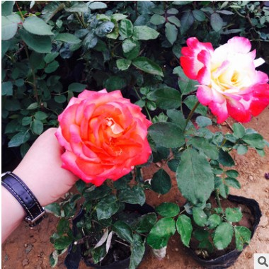 月季花 大花 四季红藤本 蔷薇庭院绿化 藤本月季 四季开花