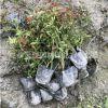 丰花月季 庭院绿化观花月季花 盆栽花卉植物阳台庭院
