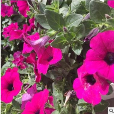 青州花卉基地供应批发矮牵牛 开花多色牵牛花 青州草花矮牵牛