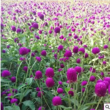 批发销售千日红花草小苗 观赏植物 各种花草苗大量供应