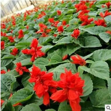 一串红批发厂家直销量大优惠 地被草花一串红可盆栽花草