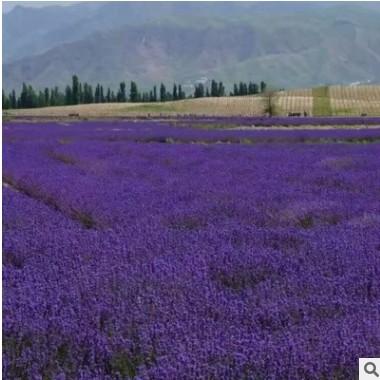 厂家直销薰衣草 苗木 花海景区供应芳香花卉种 薰衣草种