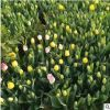 郁金香 球根花卉花海工程 颜色齐全 量大从优特价批发郁金香花苗