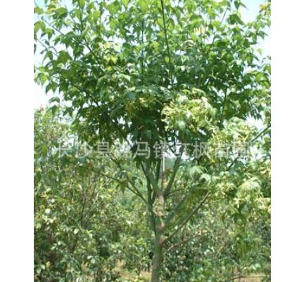 长沙跳马批量出售美丽的青枫树 送您清风和舒畅 欢迎订购