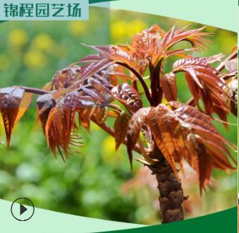 山东红油香椿树批发 1米高香椿树价格 1公分红油香椿树种植基地