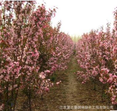 木瓜海棠基地直销园林工程绿化苗木庭院盆栽花卉植物贴梗海棠树苗