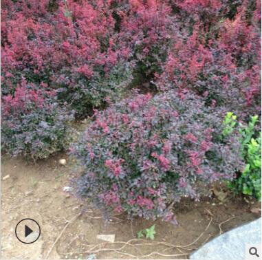 红叶小檗球批发 四季常青工程绿化苗 庭院绿化红叶小波苗直销