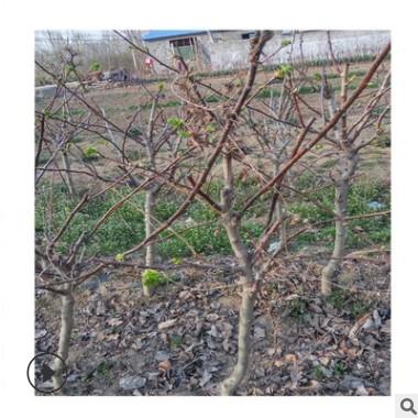 长期出售3公分大五棱山楂树 批发基地常年大量供应大五棱山楂树