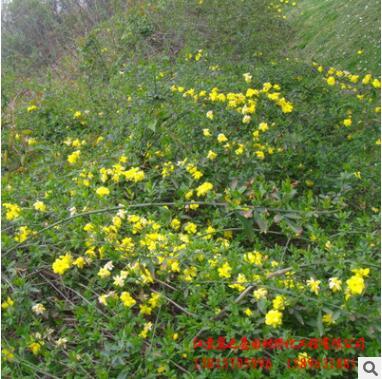 苗圃批发迎春小苗 春季绿化花木园林观赏花卉常绿灌木 迎春花树苗