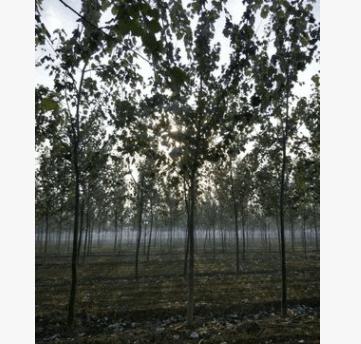 河北批发防护林专用大乔木园林植物1-15公分速生杨 毛白杨苗木