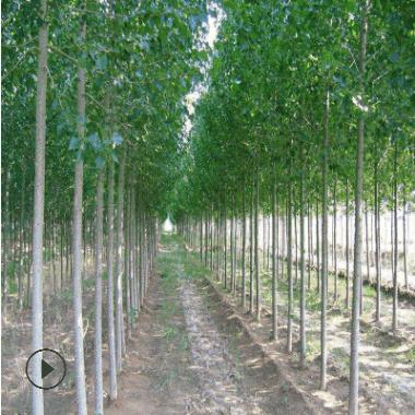 毛白杨基地处理一批毛白杨 速生杨小苗 各种规格杨树苗