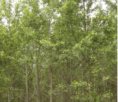 批发绿化苗 毛白杨树苗 小苗 耐寒庭荫树 四季常绿乔木 规格齐全