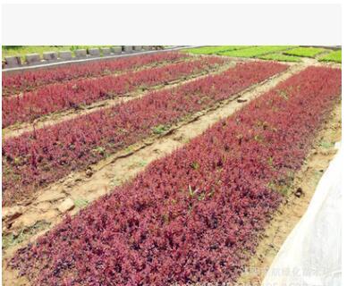 基地批发 出售绿化苗木红叶小檗 优质红叶小檗行道树小苗