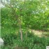 黄栌树苗批发工程绿化苗木美国黄栌 庭院园林绿化苗木 规格齐全