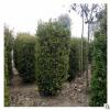 大量供应各种绿化苗木 瓜子黄杨柱 优质瓜子黄杨柱小苗 基地直销