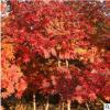 枫香树苗批发 树形优美园林绿化行道树 北美枫香树苗根系深价格优