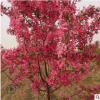 基地直销北美海棠系列 绚丽海棠 海棠苗 园林绿化苗木 规格齐全