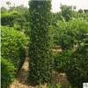 基地长期供应优质大叶黄杨柱 工程绿化大叶黄杨柱 绿篱灌木价格优