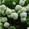 木绣球树苗 盆栽 庭院别墅园林工程绿化 木绣球花 基地直销价格优