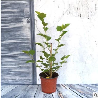 果桑无籽大十 无子大十盆栽果树 盆栽果桑2年盆栽苗 家庭桑树