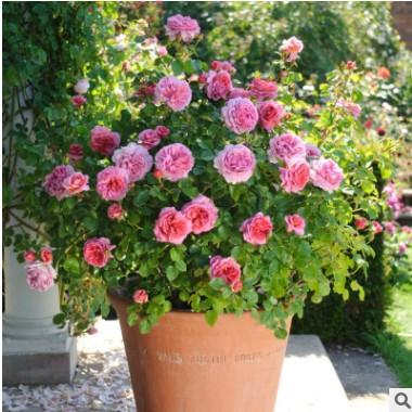 蔷薇花苗大花浓香四季开花多花盆栽地栽庭院阳台爬藤攀援玫瑰月季