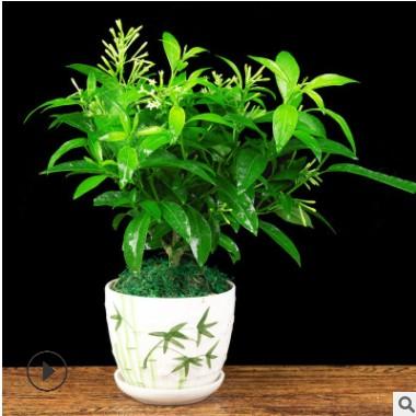 夜来香盆栽植物包邮夏季客厅室内驱蚊香草苗树苗四季开花净化空气