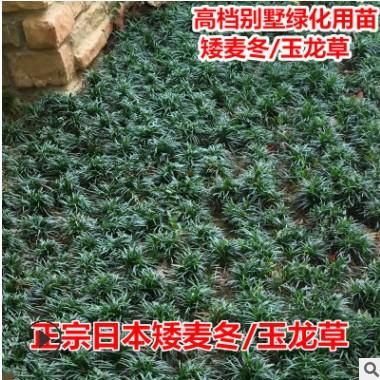 矮麦冬草【一斤装可以铺4--5平方】四季常绿耐寒庭院绿化地被植物