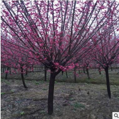 批发原生红梅基地直销工程绿化苗木庭院室内可种植浓香型耐寒植物